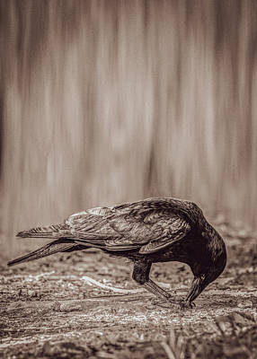 Photograph - The Hungry Crow by Bob Orsillo