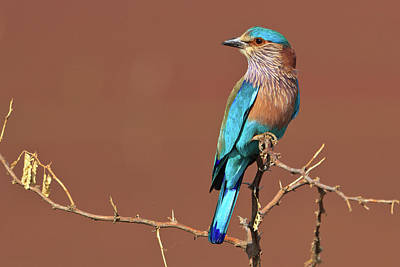 Blue Photograph - The Indian Roller Coracias Benghalensis by © Neha & Chittaranjan Desai
