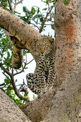Photograph - The Leopard Sits In Wait by Kay Brewer