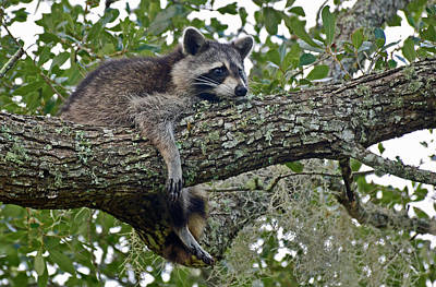 Photograph - The Life Of A Raccoon by Bruce Gourley