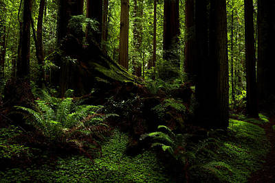 Photograph - The Light In The Forest 3 by TL Mair