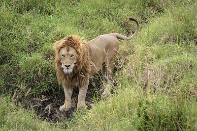 Photograph - The Lion's Thoughtful Gaze by Mary Lee Dereske