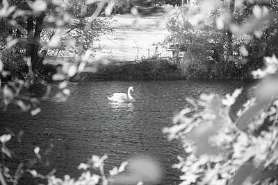 Photograph - The Lone Swan 1 by Brian Hale