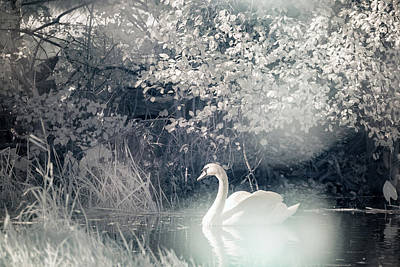 Photograph - The Lone Swan 2 by Brian Hale