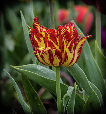Photograph - The Lonely Tulip by Thom Zehrfeld