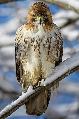 The Look, Red Tailed Hawk 1 Art Print