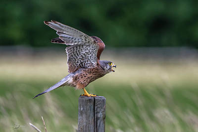 Birds Rights Managed Images - The male Kestrel on his way Royalty-Free Image by Torbjorn Swenelius