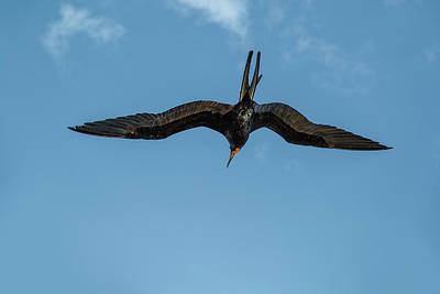 Photograph - The Male Magnificent Frigate Bird by Kay Brewer