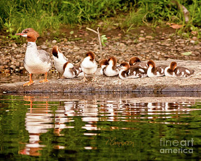 Photograph - The Merganser Team by Tom Cameron