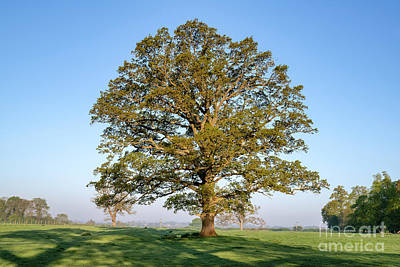 Photograph - The Mighty Seasonal Oak - Spring by Tim Gainey