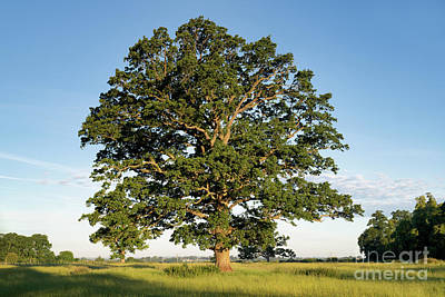 Photograph - The Mighty Seasonal Oak - Summer by Tim Gainey