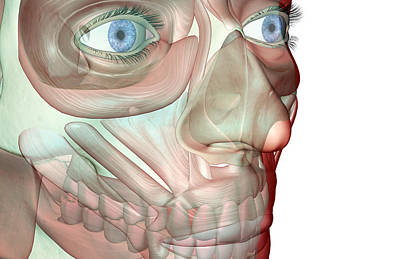 The Musculoskeleton Of The Face Art Print by Medicalrf.com