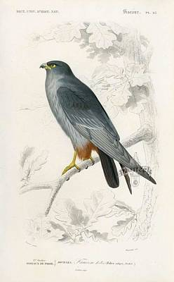 Painting - The Orange Legged Falcon Falco Rufipes  D Orbigny Bird From Dictionnaire Universel  D Histoire Natur by Celestial Images