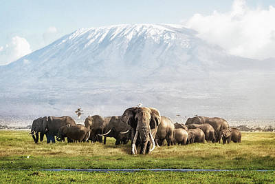 Animals Photos - The Patriarch of Amboseli by Good Focused