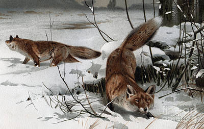 Drawing - The Red Fox Vulpes Vulpes by German School