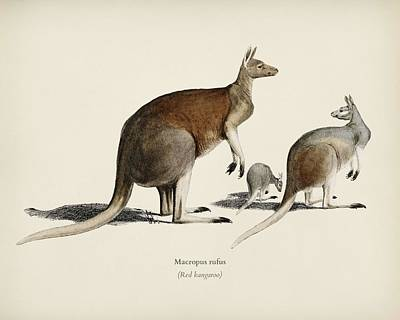 Painting - The Red Kangaroo  Macropus Rufus  Illustrated By Charles Dessalines D  Orbigny  1806 1876 2 by Celestial Images