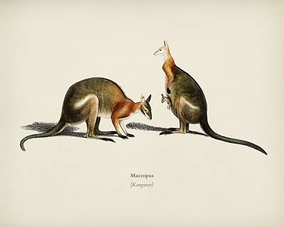 Painting - The Red Kangaroo  Macropus Rufus  Illustrated By Charles Dessalines D  Orbigny  1806-1876  3 by Celestial Images