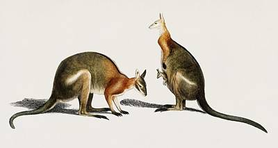 Painting - The Red Kangaroo  Macropus Rufus  Illustrated By Charles Dessalines D Orbigny  1806 1876  by Celestial Images