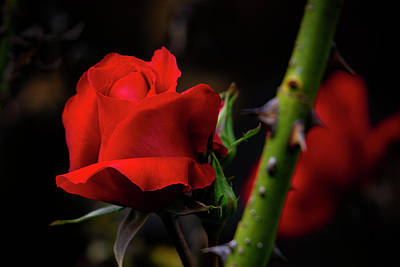 Photograph - The Red Rose by Silvia Marcoschamer