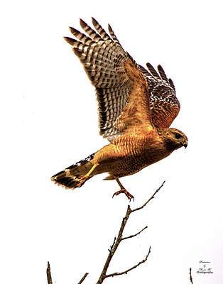 Photograph - The Red Shouldered Hawk by Kevin Banker