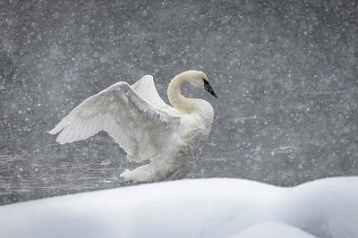 Photograph - The Snow Swan by Russell Cody