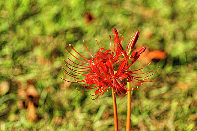 Photograph - The Spider Lily by Kay Brewer