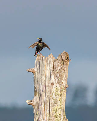Photograph - The Starling Dance by Loree Johnson