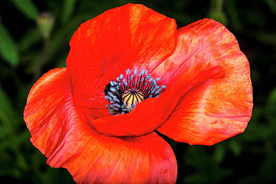 Photograph - The Strength Of The Poppy Flower by David Morefield