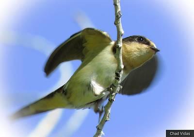 The Swallow Wings Original