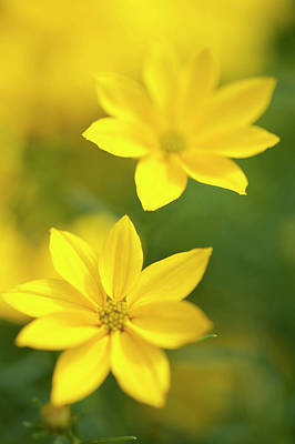 Photograph - The Two. Yellow Coreopsis by Jenny Rainbow