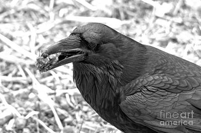 Photograph - The Ultimate Scavenger Black And White by Adam Jewell