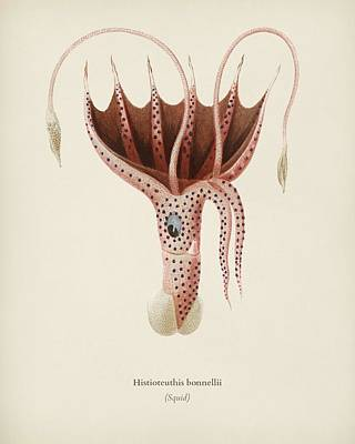 Painting - The Umbrella Squid  Histioteuthis Bonnellii  Illustrated By Charles Dessalines D Orbigny  1806 876 by Celestial Images