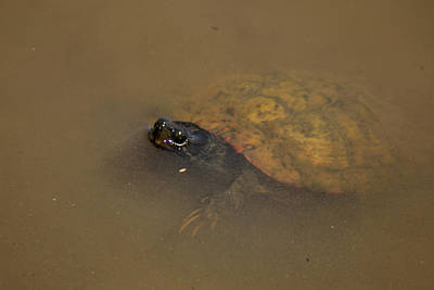 Photograph - The Water Turtle by Thomas Vasas