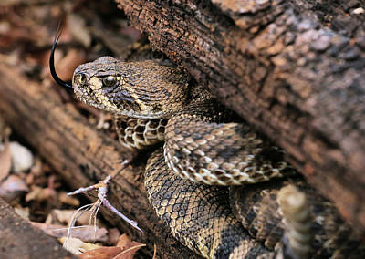 Photograph - The Western Diamondback Rattlesnake by JC Findley