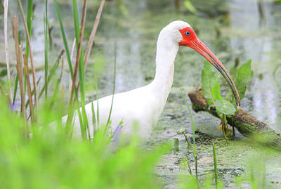 Photograph - The White Ibis by Dan Sproul