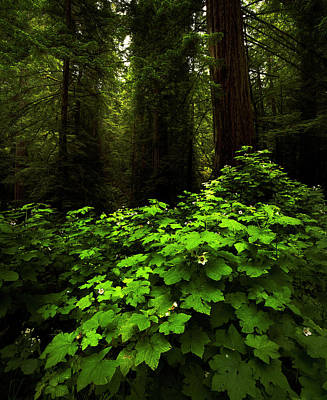 Photograph - Thimbleberrys And Giant Redwoods by TL Mair
