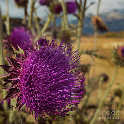 Photograph - Thistle by Doug Sturgess