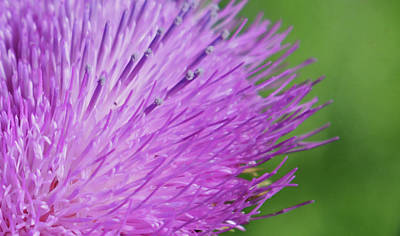 Royalty-Free and Rights-Managed Images - Thistle by Whispering Peaks Photography