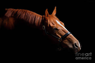 Photograph - Thoroughbred Portrait on Black by Michelle Wrighton