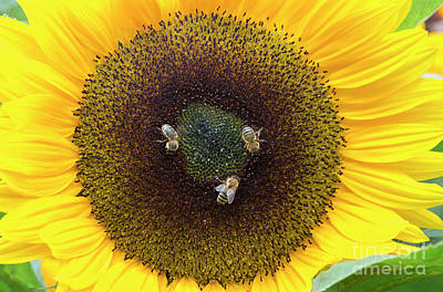 Photograph - Three Bees by Tim Gainey