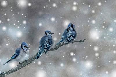 Three Blue Jays In The Snow Art Print