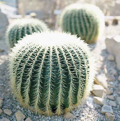 Photograph - Three Cactuses In Gravel, Close-up by Annika Vannerus