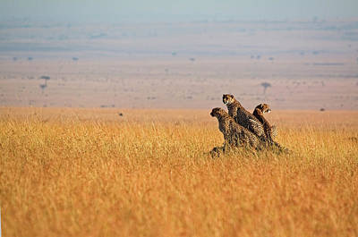 Photograph - Three Cheetah In Open Plains by Wldavies