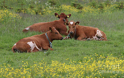 Photograph - Three Cows by PJ Boylan