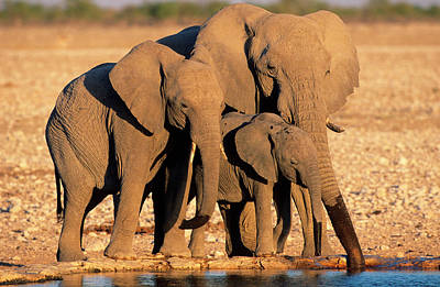 Animal Family Photograph - Three Generations Of African Elephants by Martin Harvey