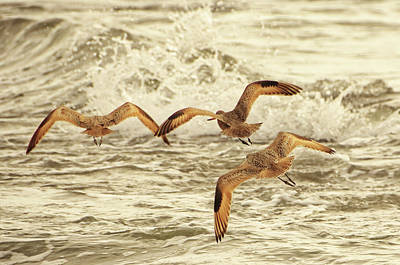 Mannequin Dresses Rights Managed Images - Three Marbled Godwits Flying Away Royalty-Free Image by David Farlow