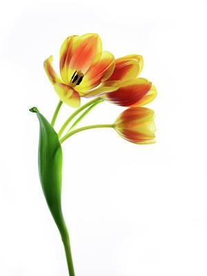 Photograph - Three Orange Tulips by Rebecca Cozart