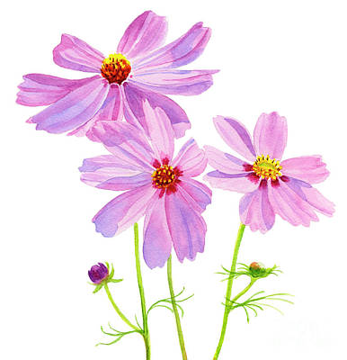 Cosmos Flowers Painting - Three Pink Cosmos Blossoms Square Design by Sharon Freeman