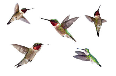 Photograph - Three Ruby Throated Hummingbirds by Cglade