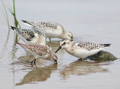 Open Impressionism California Desert - Three Sanderlings and a Semipalmated Sandpiper by Jenny Gandert